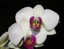 Como tingir flores da orquídea