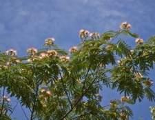 Como para fertilizar uma árvore mimosa