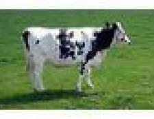 Como se livrar de ácaros gado