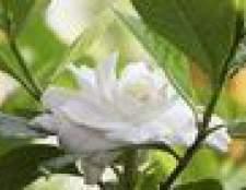 Como se livrar de insetos em gardenias