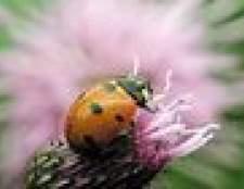 Como se livrar de joaninhas com um remédio caseiro