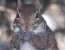 Como se livrar de esquilos usando manteiga de amendoim