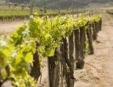 Como iniciar vinhas a partir de sementes