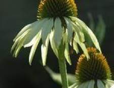 Como a crescer a partir de sementes de Coneflower