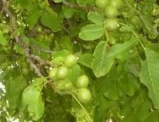 Como crescer nozes inglês a partir de sementes