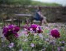 Como crescer esquecer-me-not (Myosotis sylvatica)