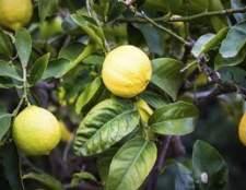Como crescer árvores de limão no Arizona
