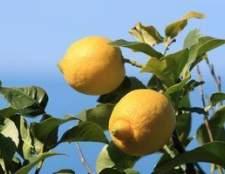 Como crescer árvores de limão em texas