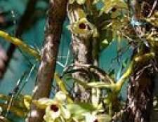 Como crescer orquídeas em cestas de suspensão