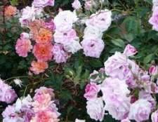 Como crescer rosas roxas
