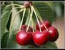 Como colher cerejas