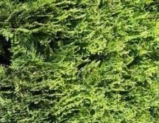 Como identificar evergreens