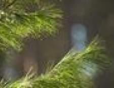 Como identificar doenças de pinheiros