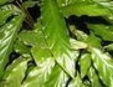 Como identificar as folhas do arbusto brilhante