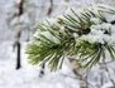 Como identificar tipos de pinheiros