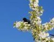 Como manter as aves longe de seus cerejeiras