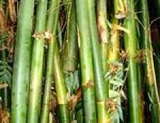 Como matar bambu japonês