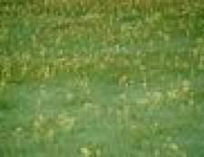 Como matar ervas daninhas do gramado no inverno