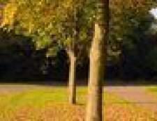 Como usar herbicidas em torno das árvores