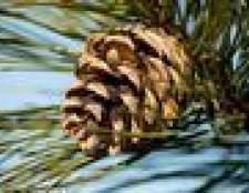 Como localizar pinho fêmea do sexo masculino e cones