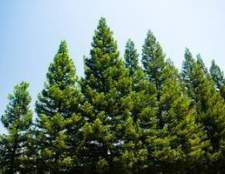 Como neutralizar o solo sob pinheiros