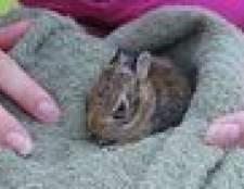 Como cuidar ou cuidar de um coelho selvagem bebê