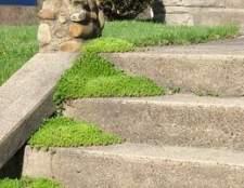 Como plantar e cuidar de musgo scotch