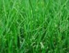 Como plantar a semente da grama na chuva