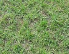 Como plantar grama tuff texas
