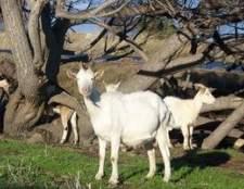 Como preparar o leite de cabra para beber