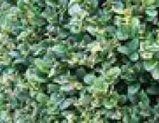 Como propagar estacas de hedge ligustro