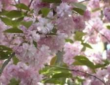 Como podar uma árvore da flor de cereja weeping