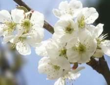 Como podar árvores de cereja dwarf