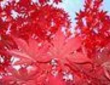Como aparar e dar forma a uma árvore de bordo vermelho