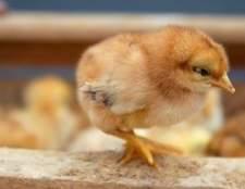 Como aumentar um frango em sua casa