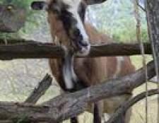 Como criar cabras para leite e queijo