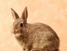 Como criar coelhos de carne no texas