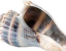 Como remover conchas pústula