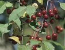 Como saber se meus cerejeiras estão maduras