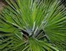 Como forma de uma palmeira fã europeu