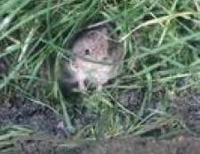 Como tomar o seu gramado de volta de moles e ratazanas