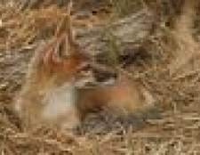 Como taxidermia uma raposa