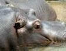 Como dizer um macho de um hipopótamo fêmea