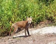 Como tratar a raposa sarna