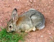 Como tratar infecções do trato urinário em coelhos