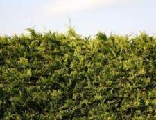 Ácaros em arbustos verdes