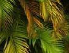 Meu palmeira está apodrecendo