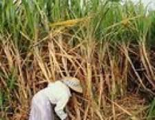 Efeitos negativos da produção de cana-de-açúcar sobre os países