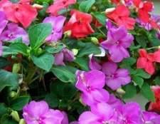 Temperaturas exteriores para impatiens plantas