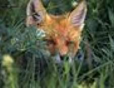 Predator chama: como chamar uma raposa em estreita